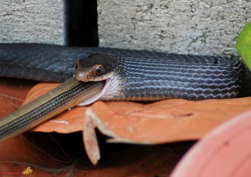 snake-eating-snake-05