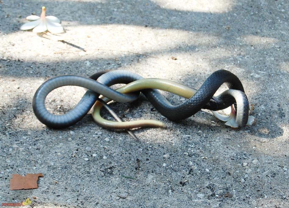 snake-eating-snake-09
