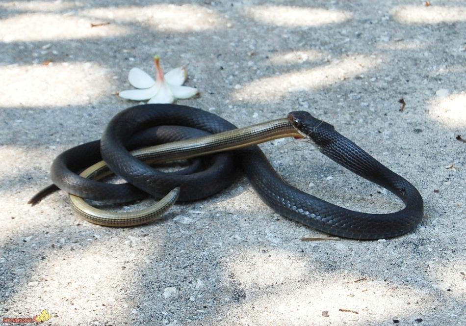 snake-eating-snake-11