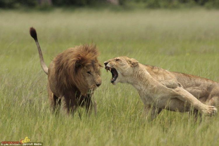lions-02