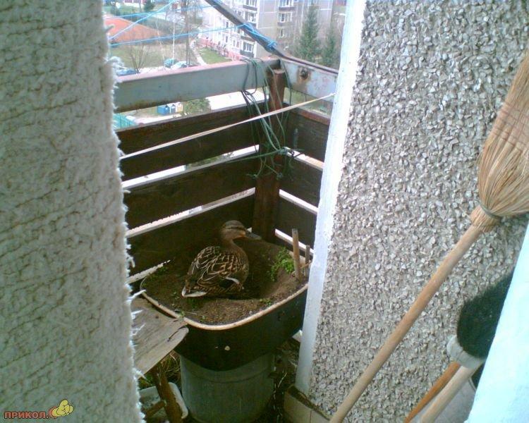 utka-na-balkone-02