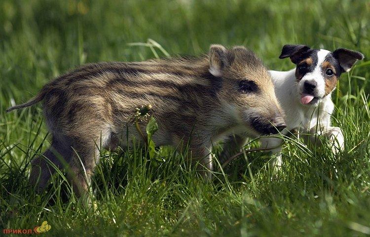 wild-pig-02