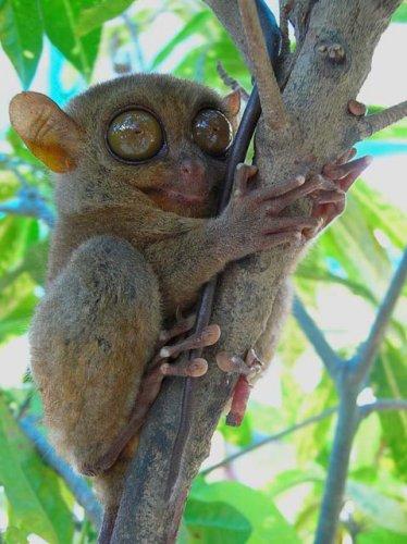 tarsier-web.jpg