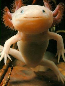 http://www.prikol.ru/wp-content/uploads/2008/06/axolotl.jpg