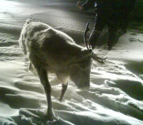 frozen-caribou-02