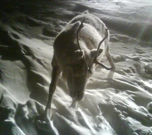 frozen-caribou-03