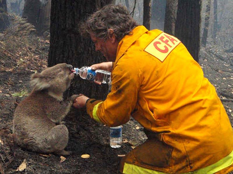 австралийский пожарный поит водой коалу