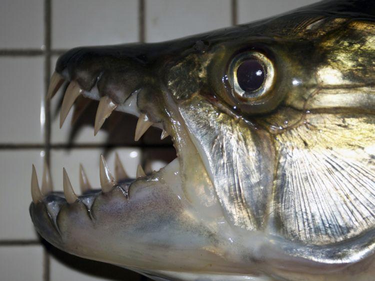 Страшные рыбки