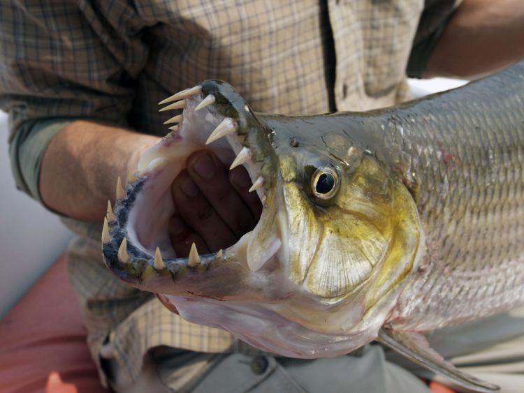 тех пор рыба с огромными зубами фото зачастую бывает