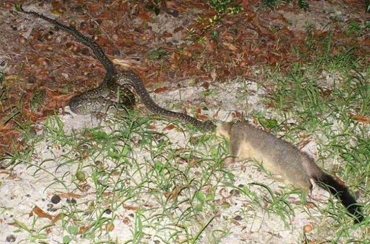snake-dinner-02