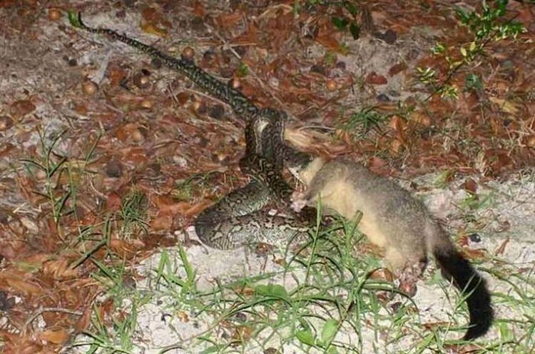 snake-dinner-03