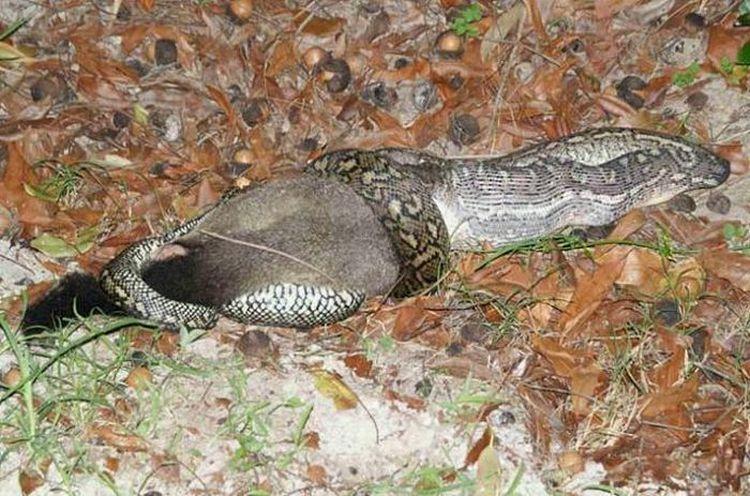snake-dinner-04