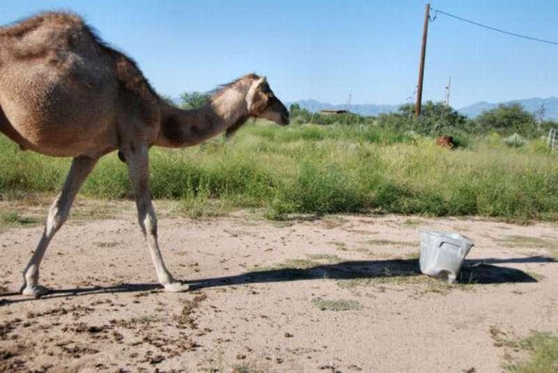 veseliy-camel-01