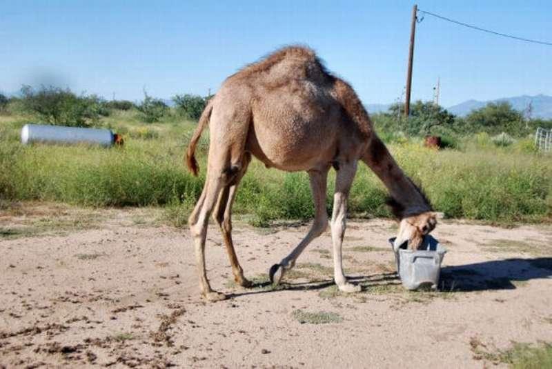 veseliy-camel-02
