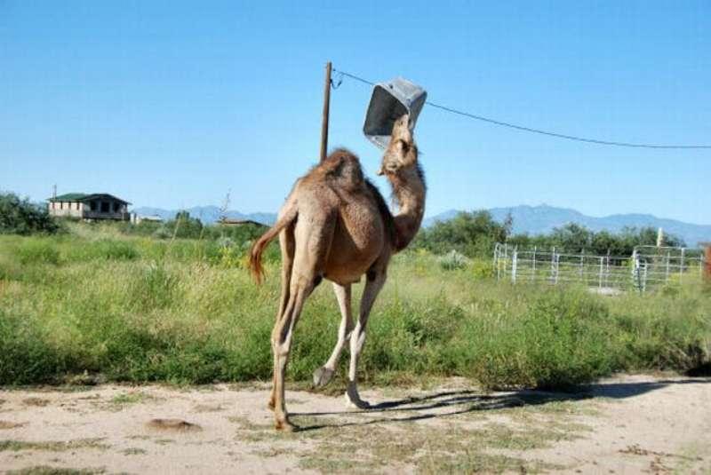 veseliy-camel-03