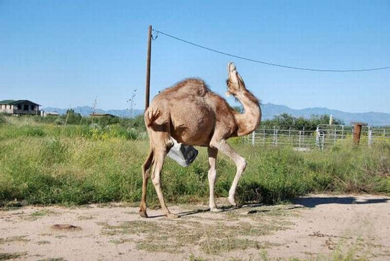 veseliy-camel-04
