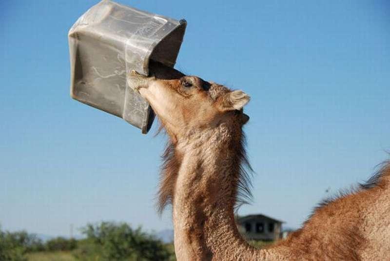 veseliy-camel-10