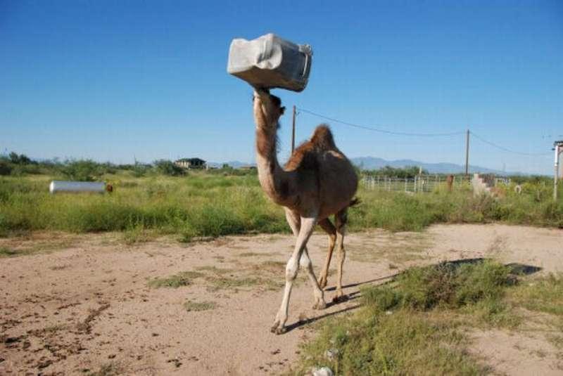 veseliy-camel-15