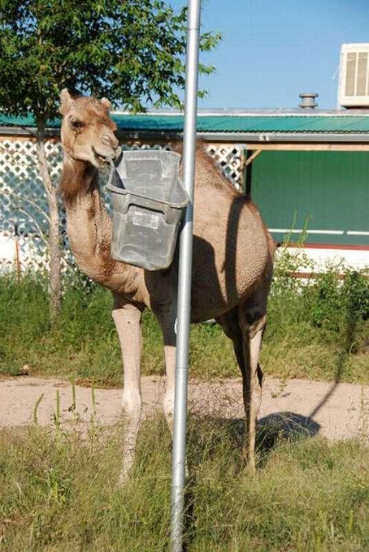 veseliy-camel-17
