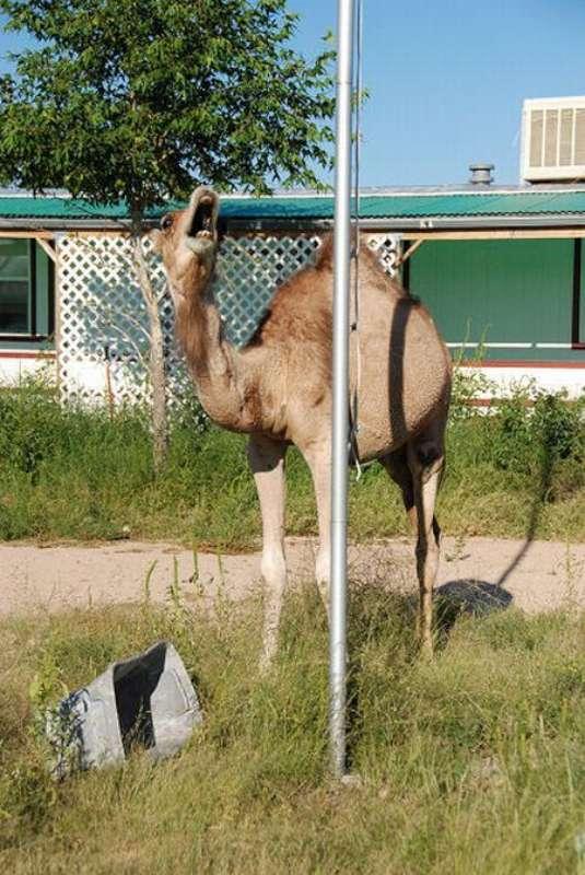 veseliy-camel-18