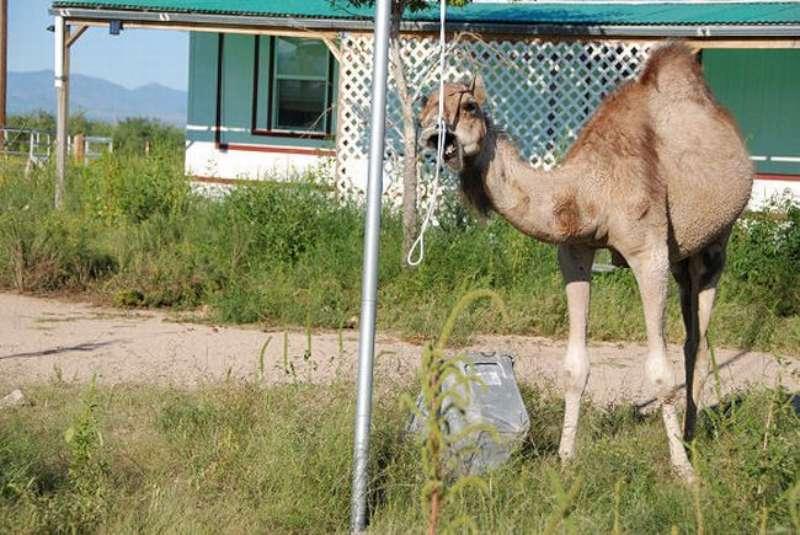 veseliy-camel-19