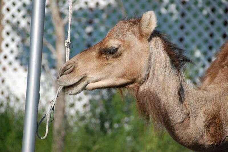 veseliy-camel-20