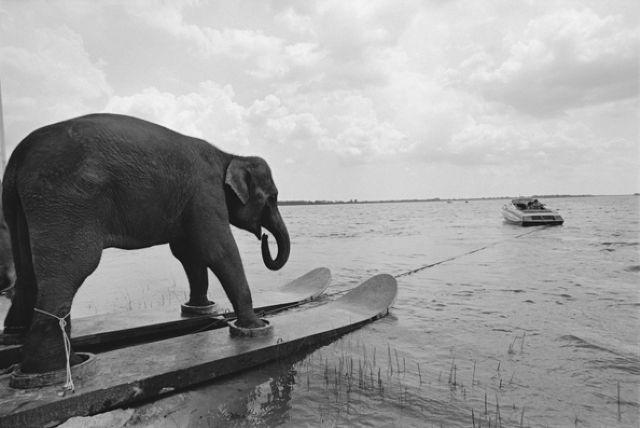 слон на водных лыжах