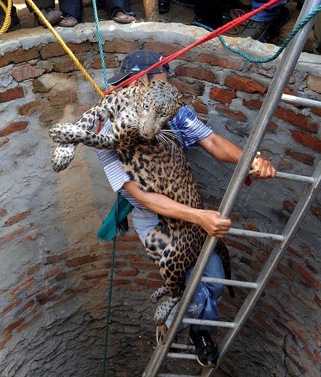 spasenie-leoparda-03