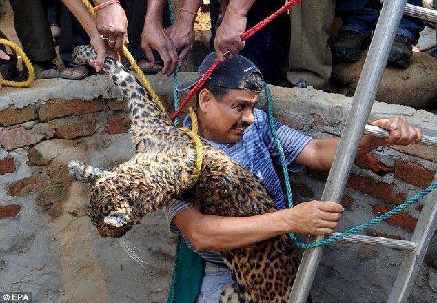 spasenie-leoparda-05