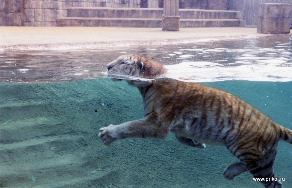 swimming-tigers-01