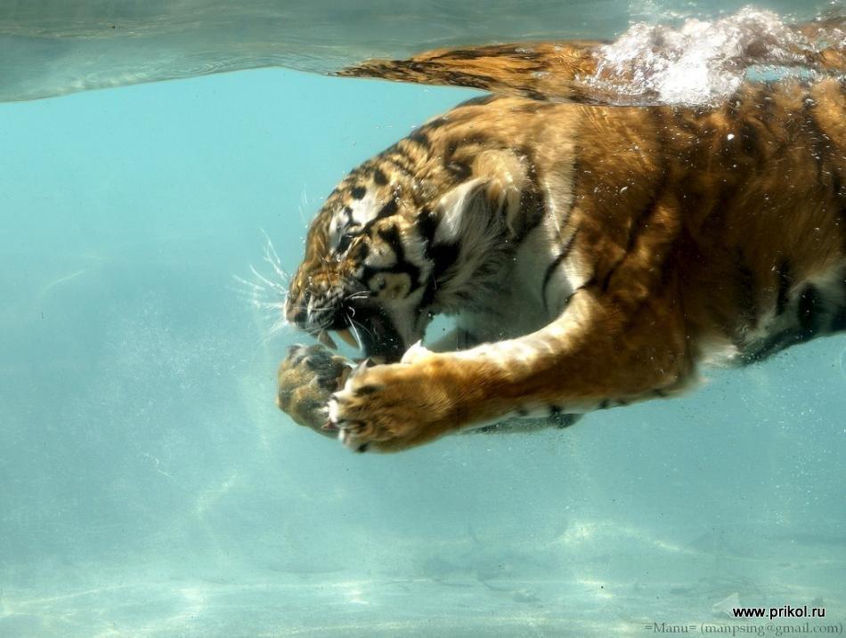 swimming-tigers-02
