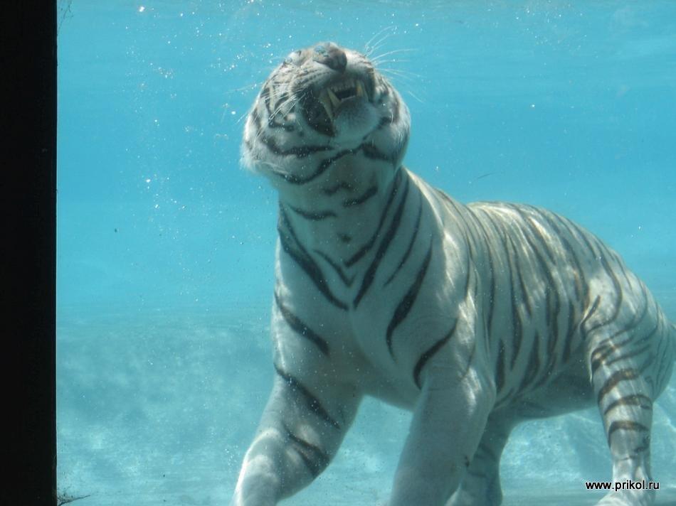 swimming-tigers-04