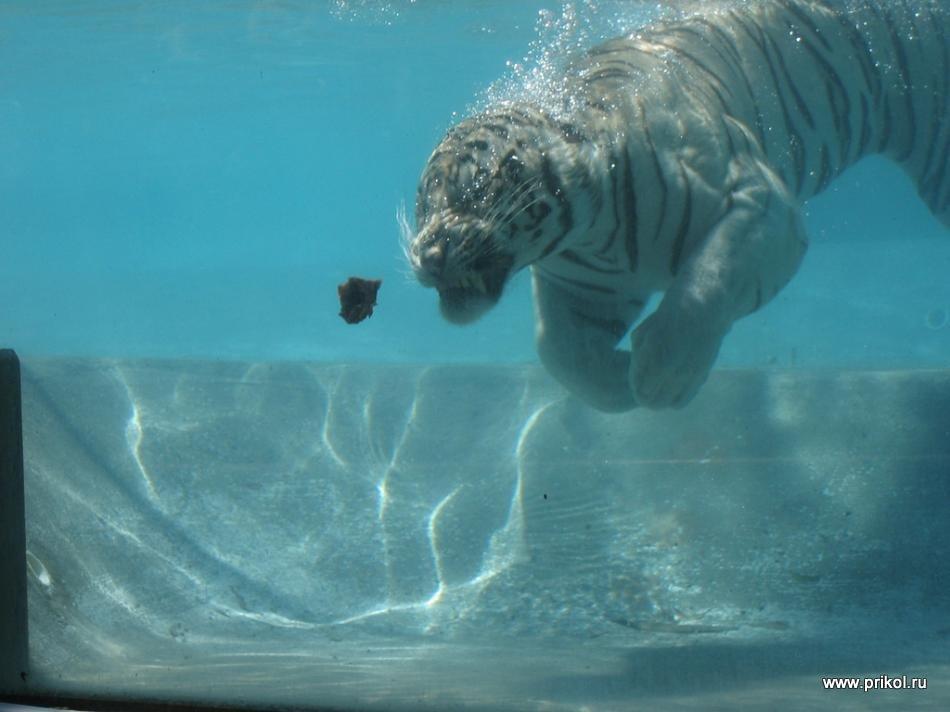 swimming-tigers-05