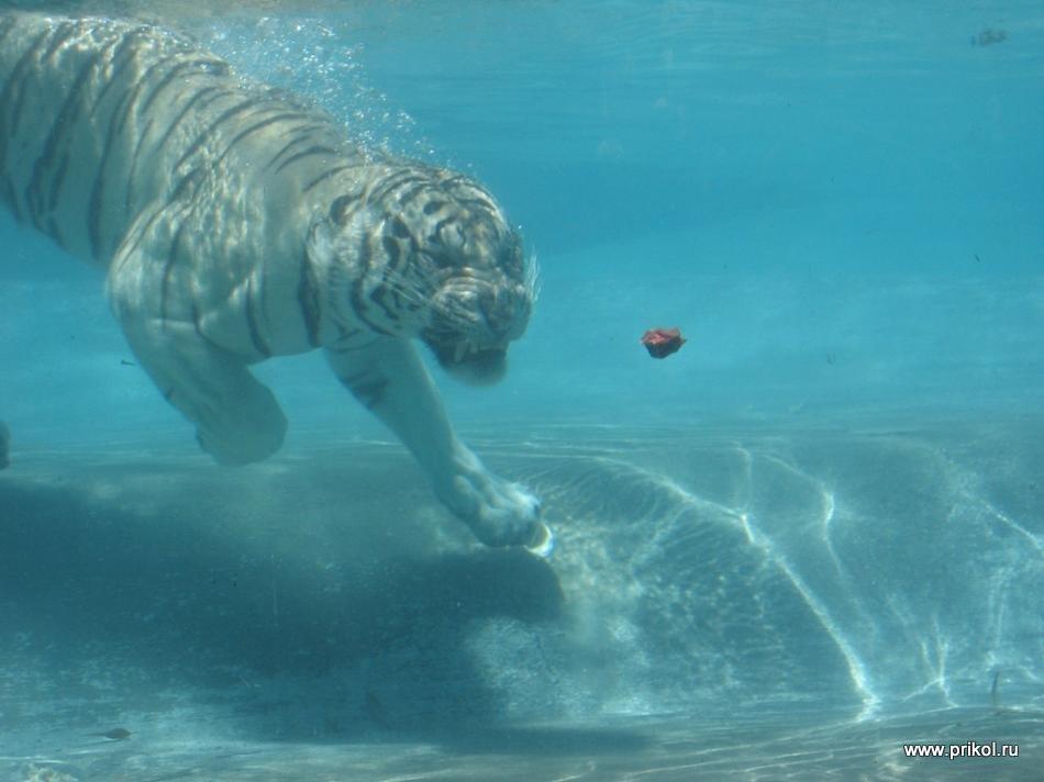 swimming-tigers-07