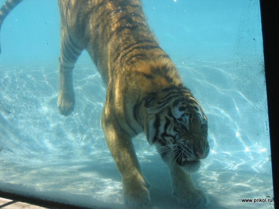swimming-tigers-08