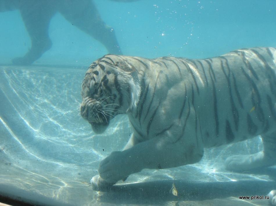 swimming-tigers-09