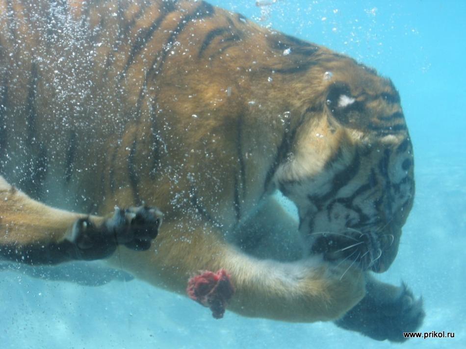 swimming-tigers-11