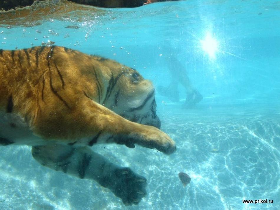 swimming-tigers-16