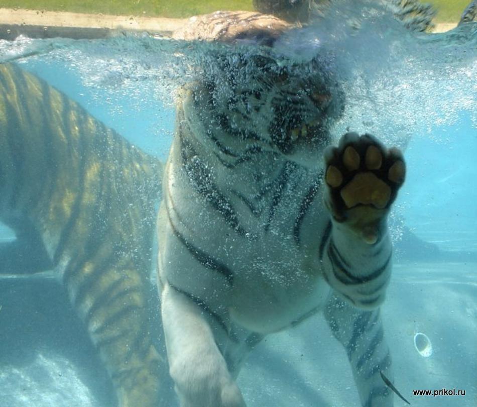 swimming-tigers-17