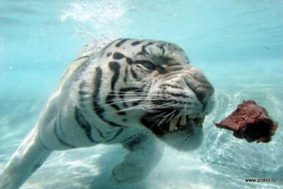 swimming-tigers-19