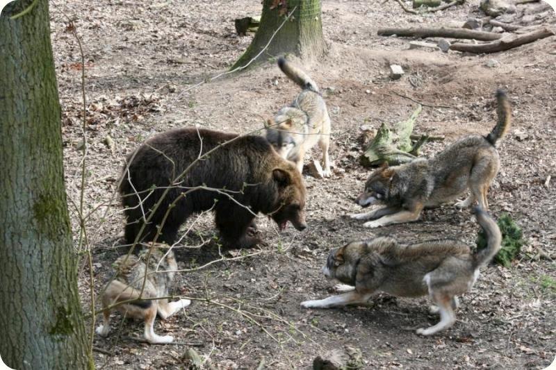 дерущиеся животные