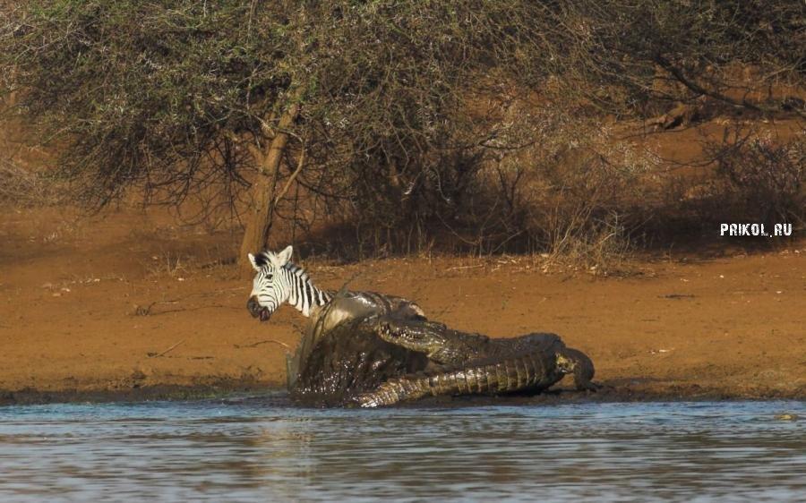 napadenie-krokodila-na-zebru-prikol-ru-04