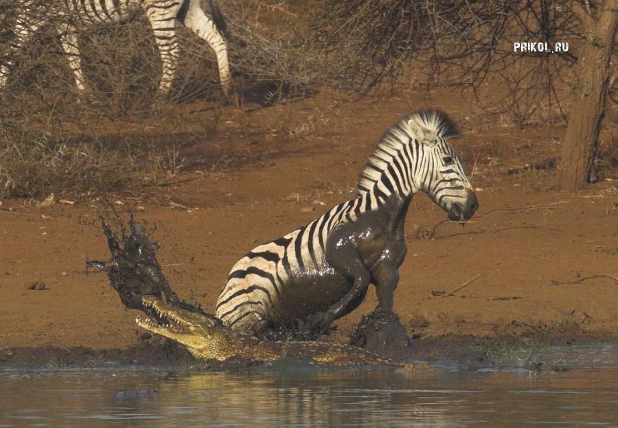 napadenie-krokodila-na-zebru-prikol-ru-05
