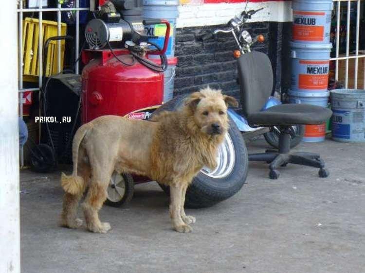 собака - лев