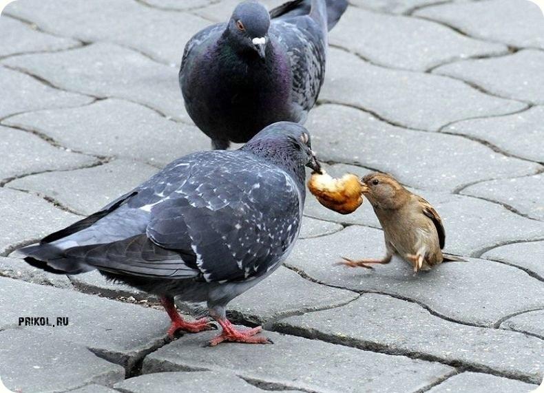 воробей и голубь