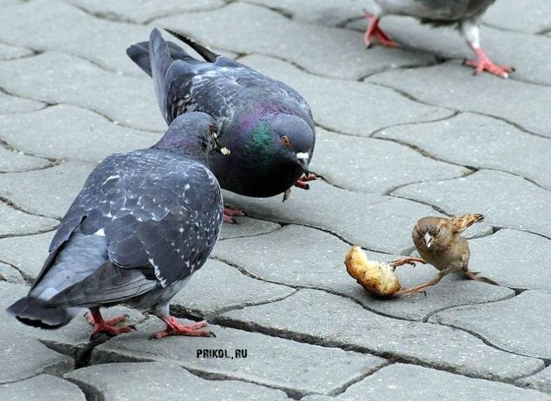 воробей и голуби