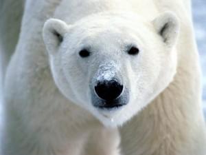 Трутся спинои медведи о земную ось