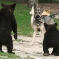 bear-cubs-05