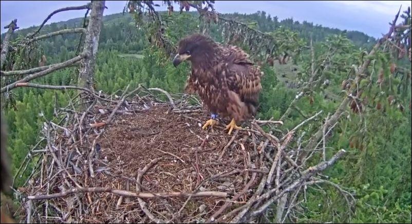 орел в гнезде