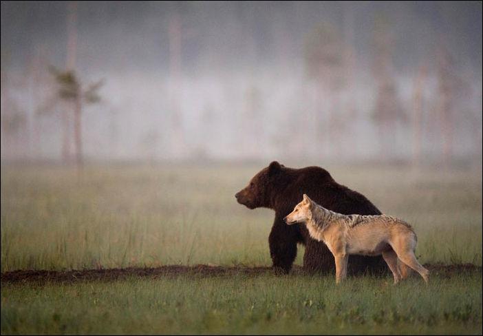 Медведь и волчица - необычные друзья (9 фото)